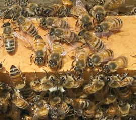 honeybees on frame